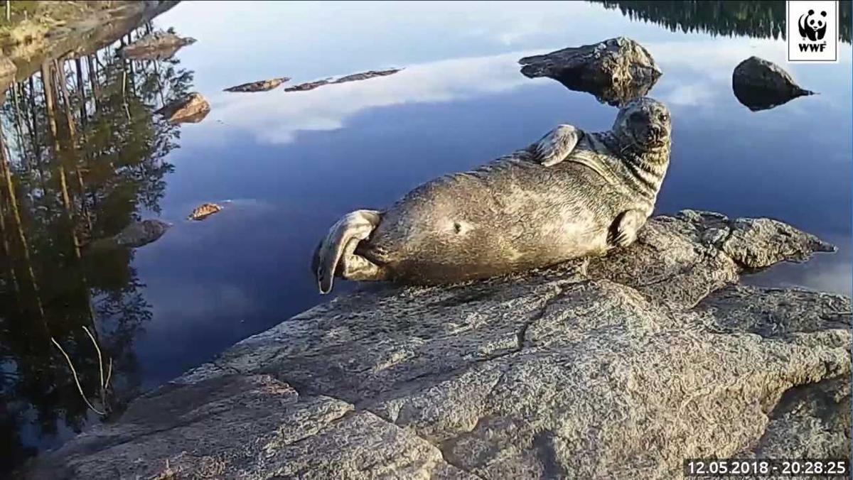 Finns are expected to head to summer cottages during the coming holiday period. This local, a ringed seal, is one of the few of its kind, sunbathing on the bank of Lake Saimaa. Kuva: WWF WWF