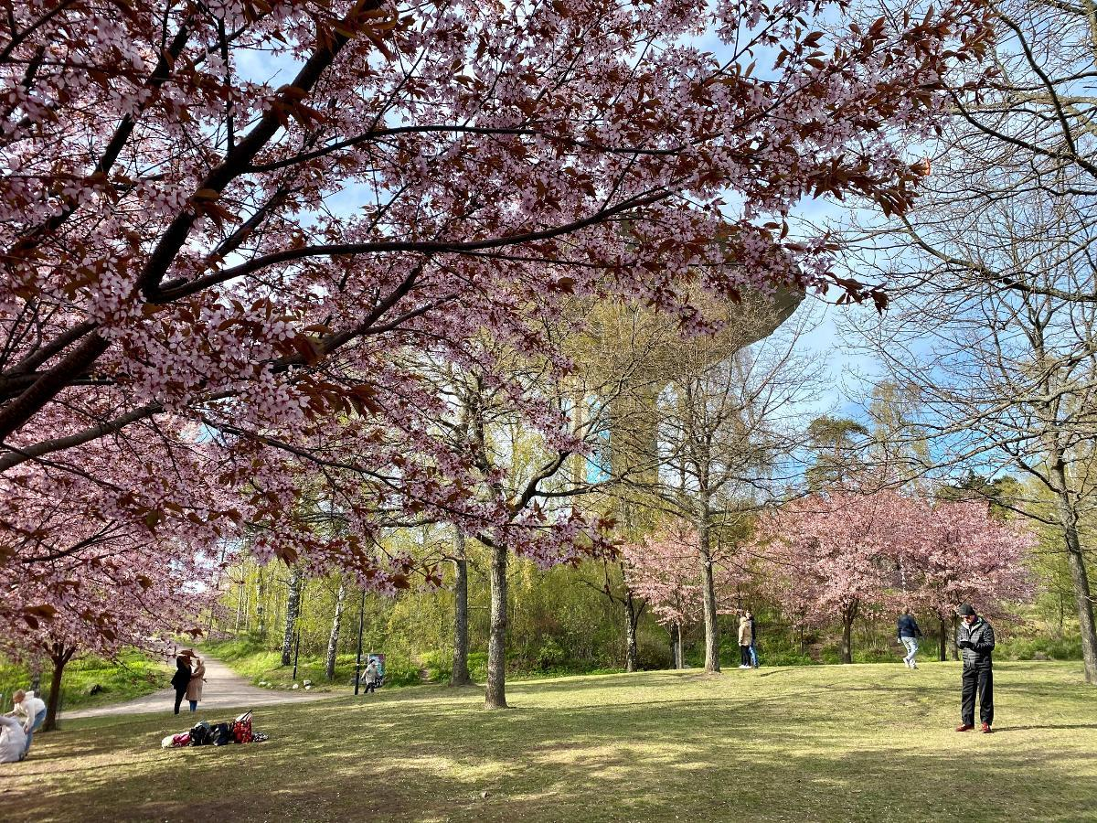 Kirsikkapuisto or Cherry Park in Roihuvuori, Helsinki, is a favorite spot for many during these early summer days. The pink cherry blossoms have not faded yet. On Thursday there was plenty of space, as media warned about the risk of coronavirus spreading in parks. Kuva: Matti Posio