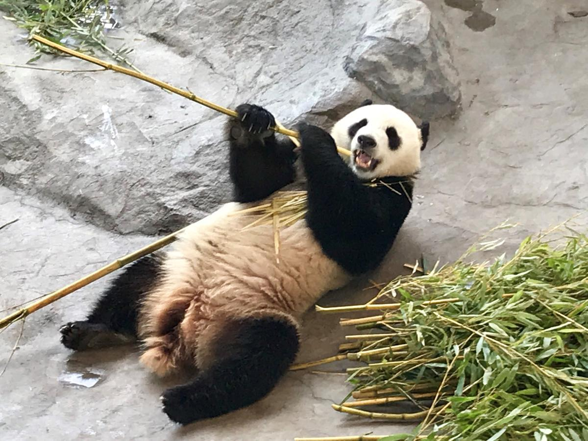 The famous pandas of Ähtäri Zoo, named Lumi and Pyry, are big eaters of bamboo. The zoo will be able to open to visitors again beginning June 1st. Kuva: Matti Posio