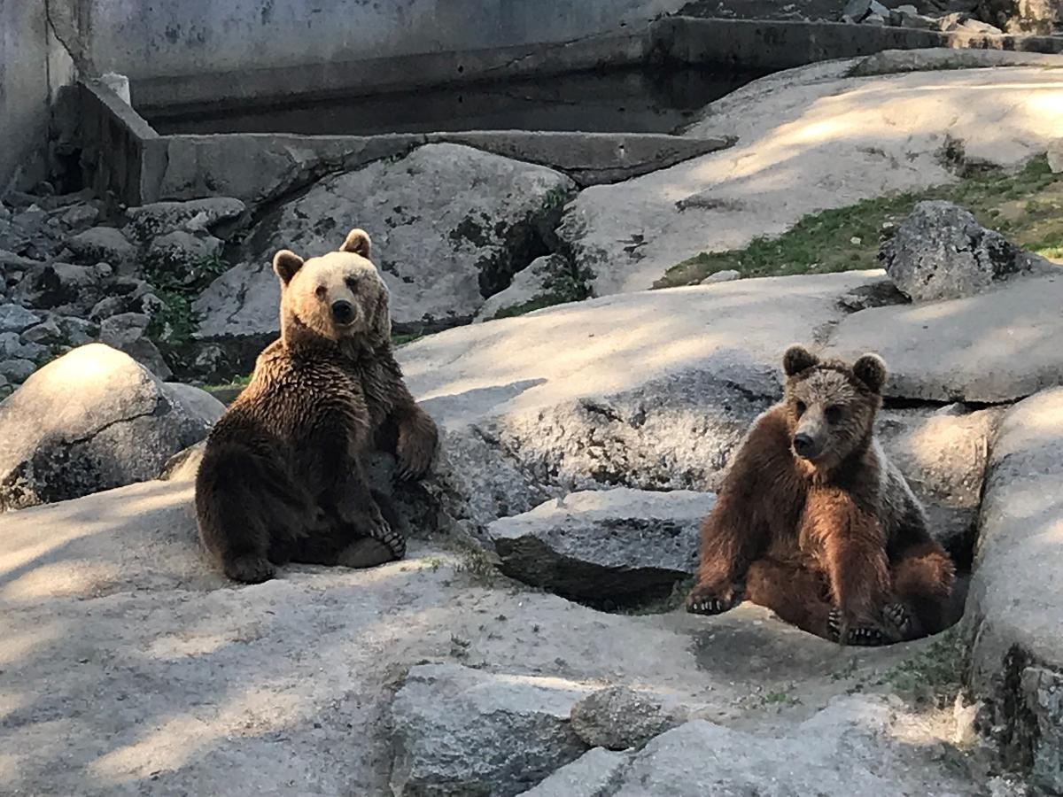 Ähtäri Zoo in Ostrobothnia, alongside with the northern zoo of Ranua in Lapland, is allowed to accept visitors again in June after a coronavirus shut-down. These two grey bears await people in Ähtäri. Kuva: Matti Posio
